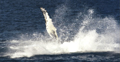 capn fishs whale watch,42 commercial street boothbay harbor maine 04538 marine biologist aboard with informative narration WE FIND THE WHALES / modern stable ships,climate controlled salons,see whales,seals,sharks,lighthouses,and more! / food/drinks sold aboard.visit mainewhales.com or call 800-636-3244