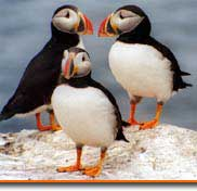 maines original puffin cruise narrated by the national audubon., join capn fishs to see puffins,seals,lighthouses and other seabirds.cruise to eastern egg rock / to see this huge colony of seabirds.modern stable ships are climate controlled. / food and drinks sold aboard.morning cruises whi